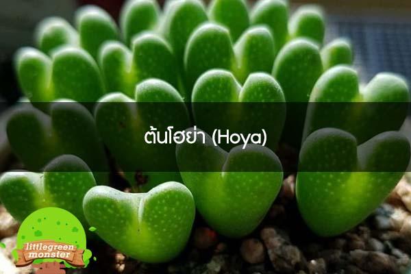 ต้นโฮย่า (Hoya)